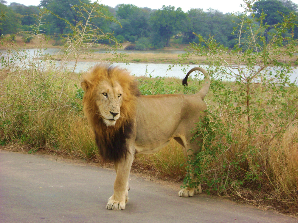 lion Kruger