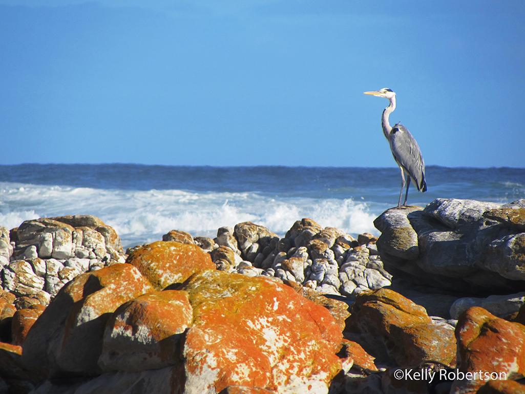 heron Cape Agulhas