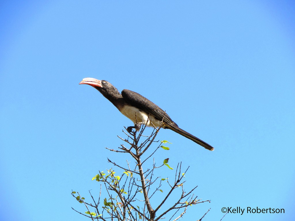 A Crowned Hornbill against a brilliant blue sky backdrop