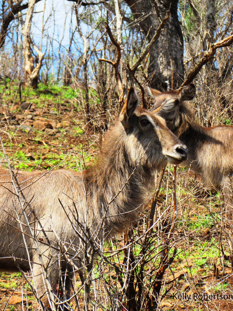 Waterbuck portraits on a hill