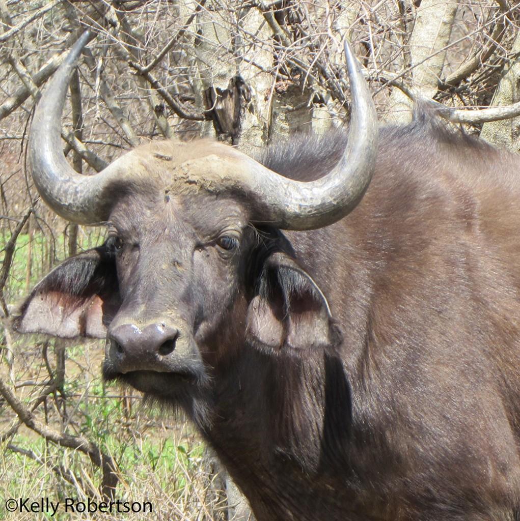 A posing buffalo