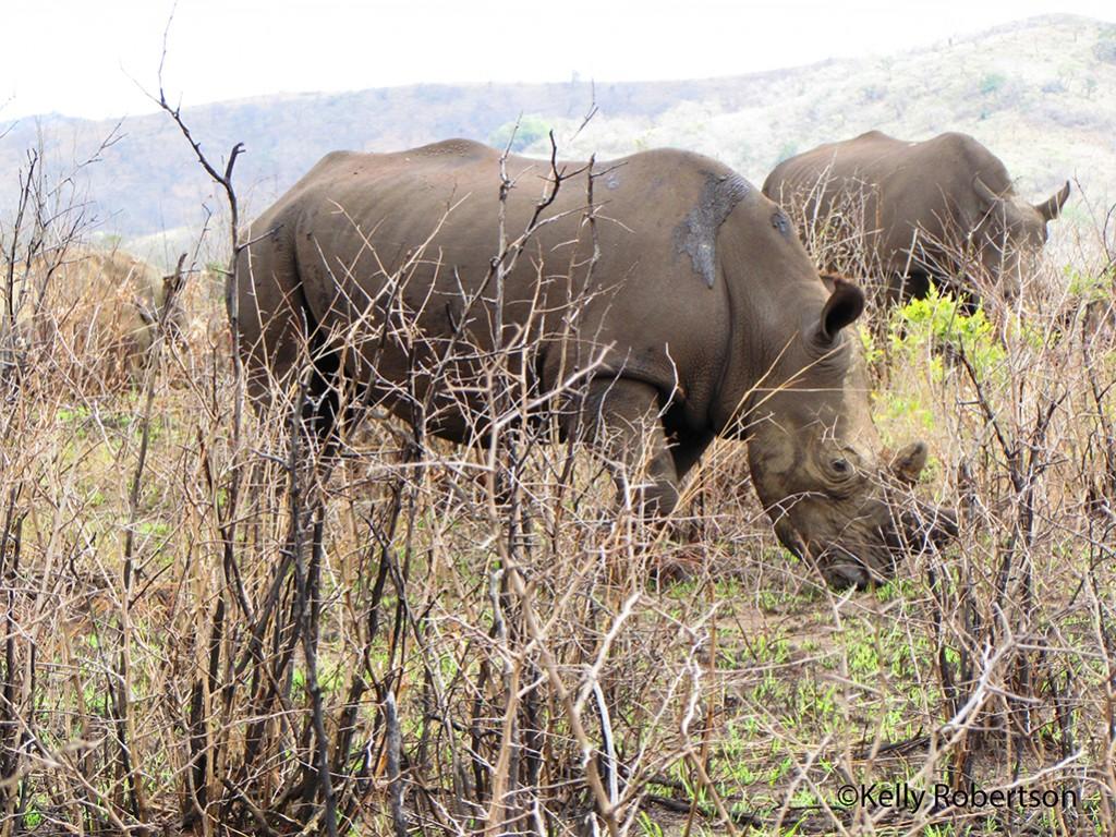 One of our many precious rhino sightings