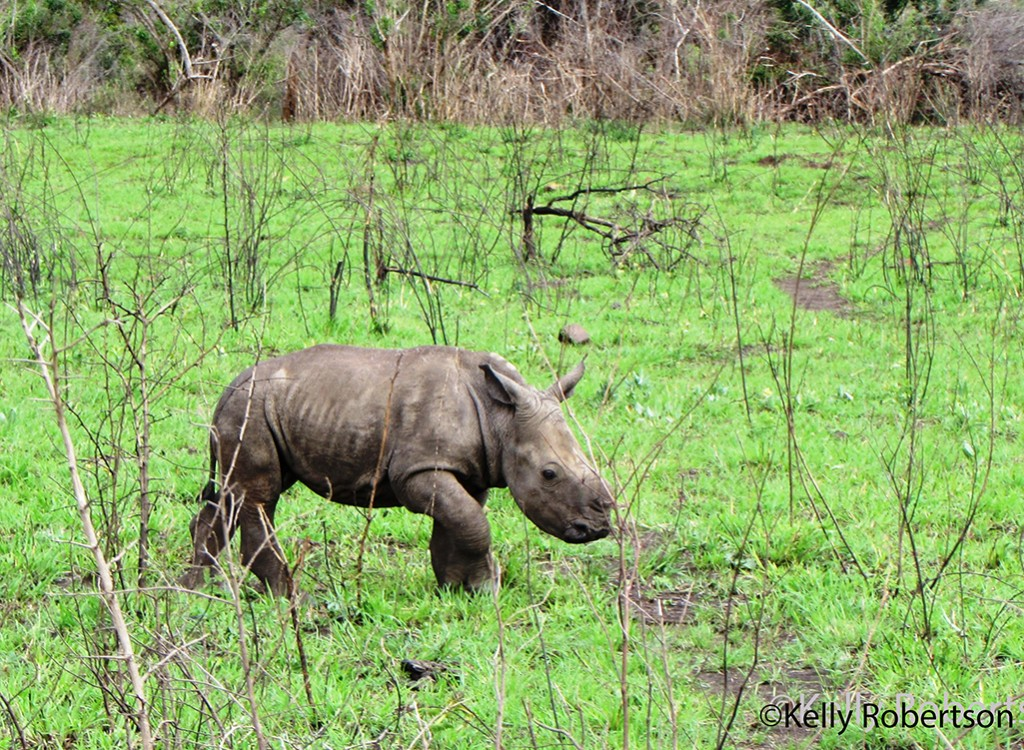 A playful little rhino calf bid us farewell as our day in the park came to an end