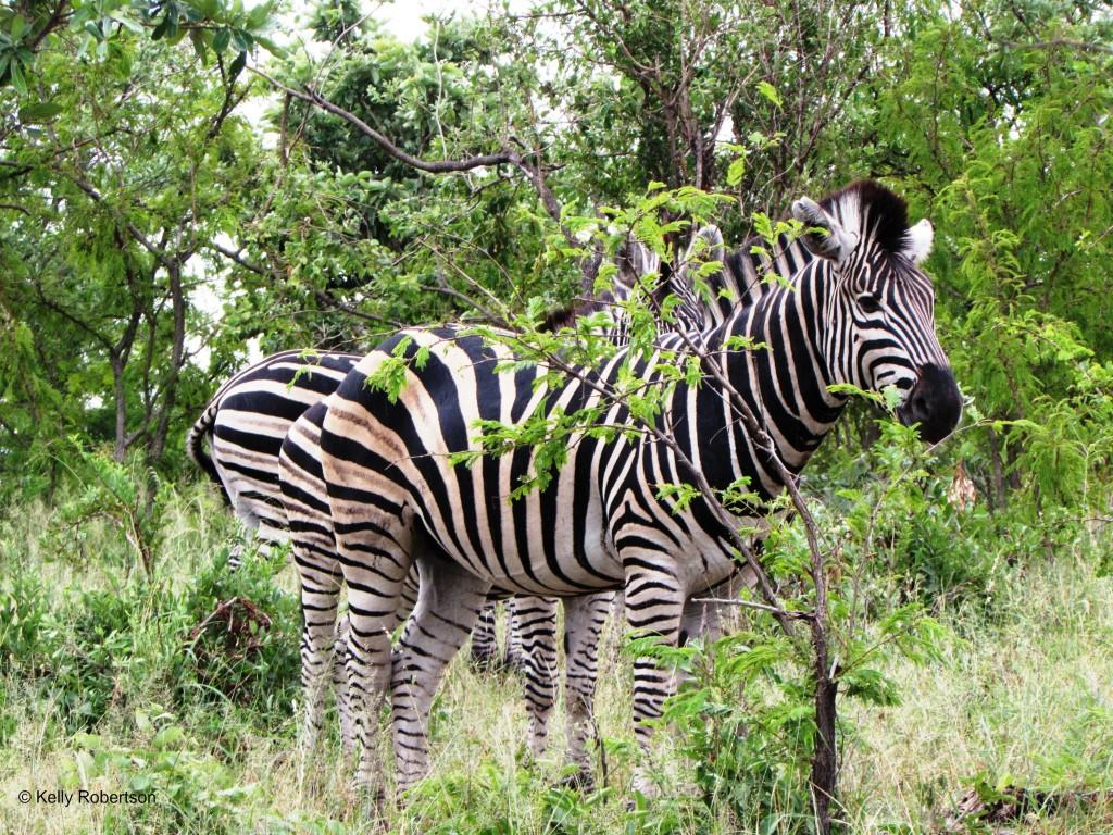 zebra Kruger
