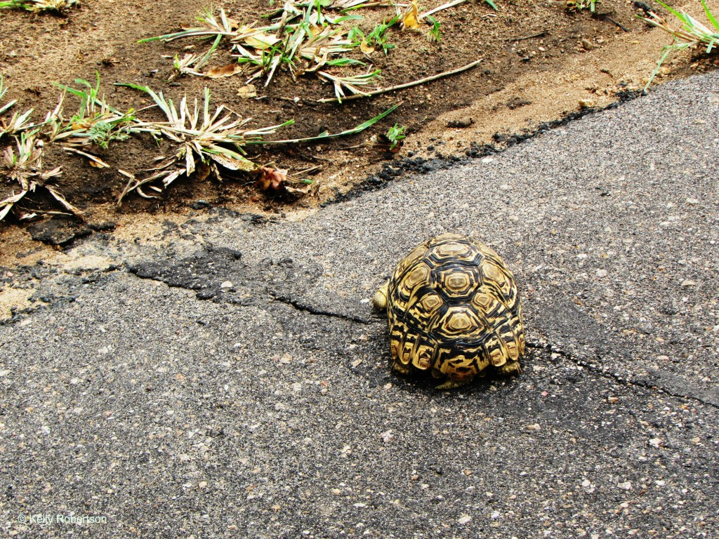 tortoise Kruger