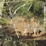Cheetah at Amakhosi Safari Lodge