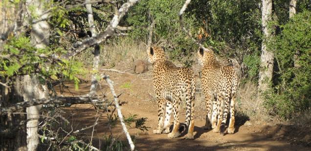 Cheetah at Amakhosi Safari Lodge