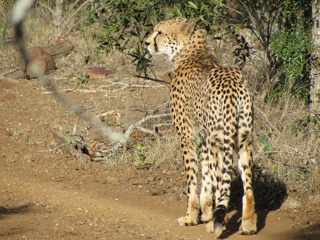 Cheetahs at Amakhosi Safari Lodge