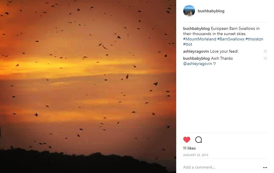 Swallows at Sunset, Mount Moreland