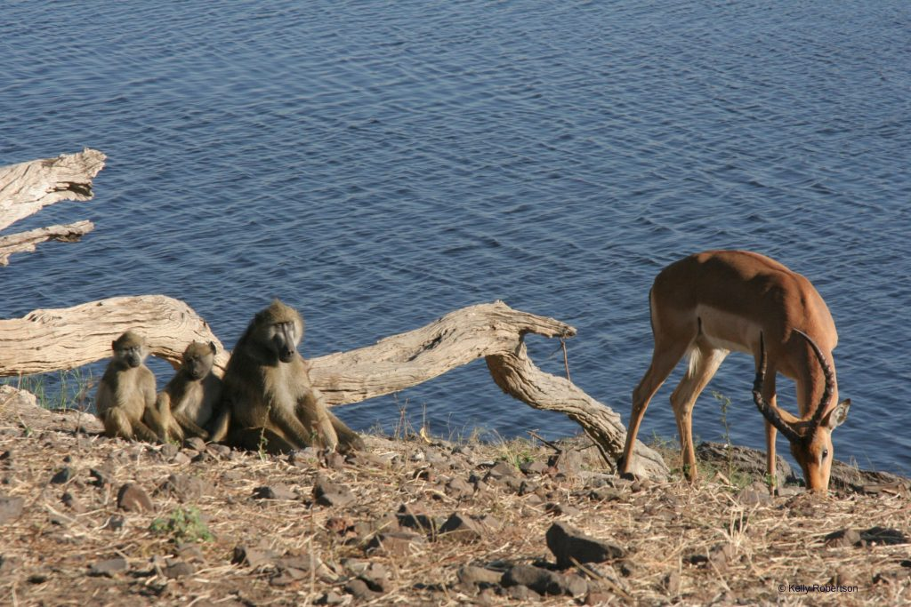 baboon and impala in Chobe National Park