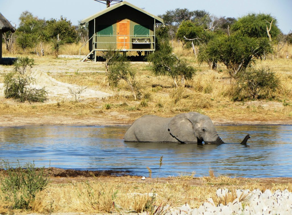 Elephant swimming at Elephant Sands, Botswana