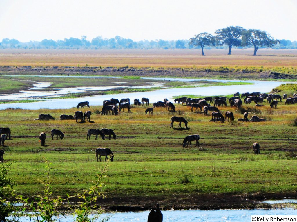 Zebra herds Chobe National Park