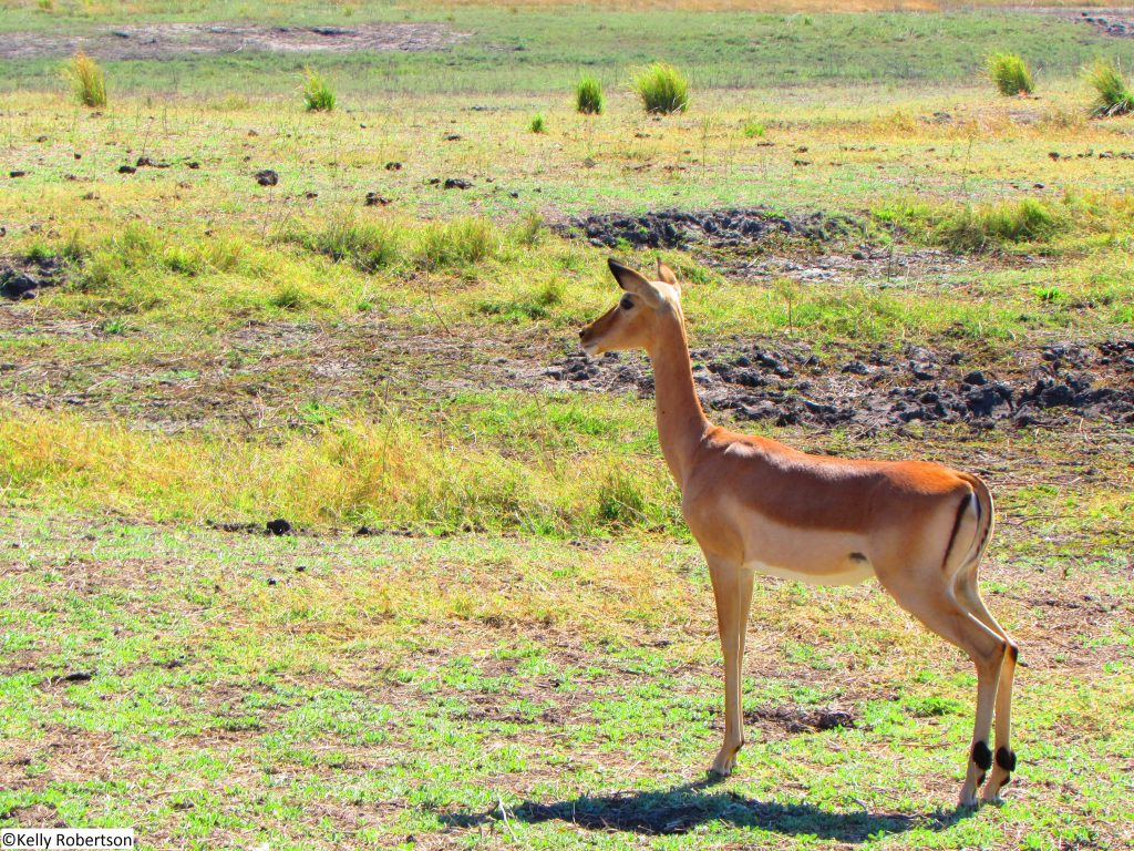 impala Chobe National Park