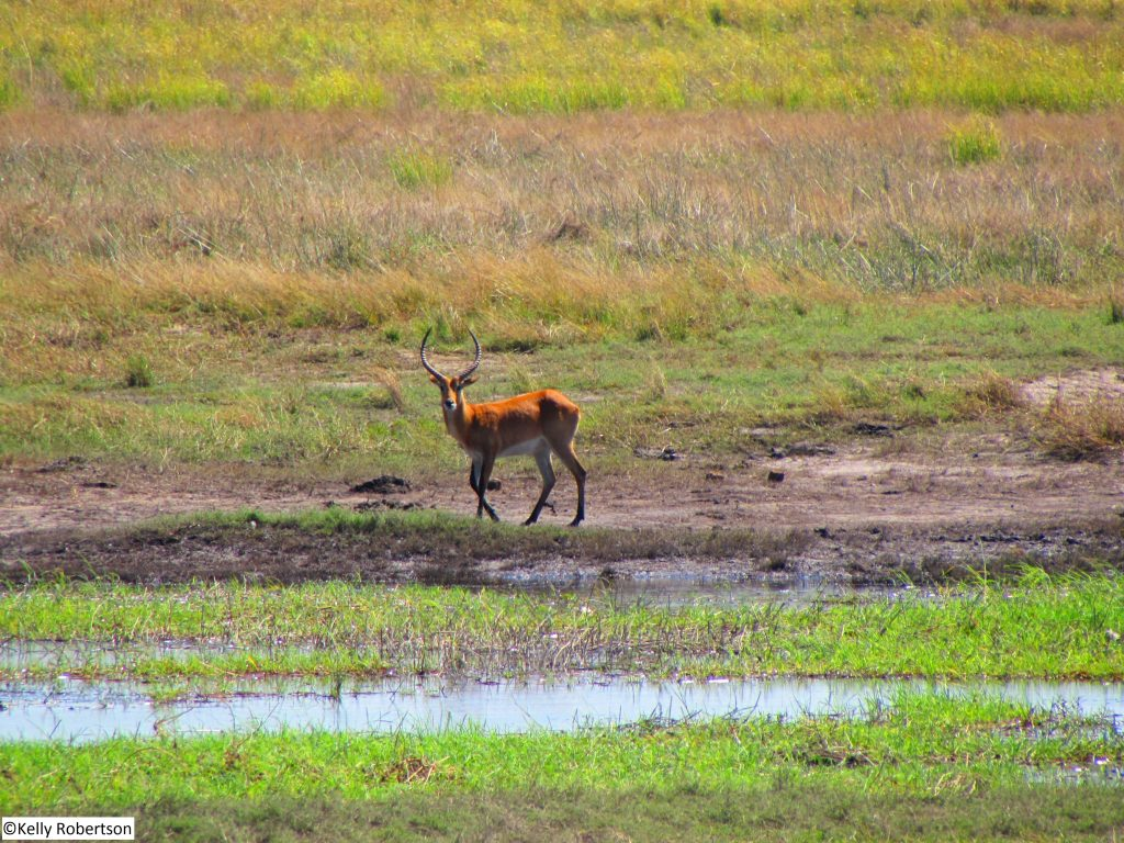 red lechwe antelope Chobe National Park