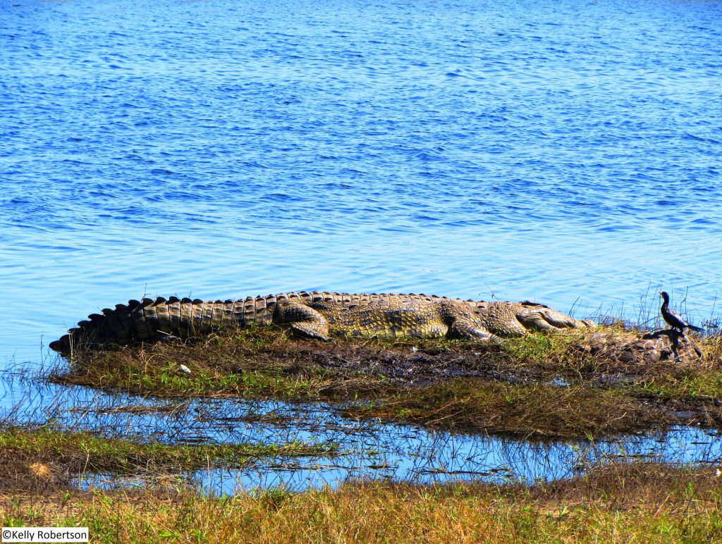 crocodile Chobe National Park