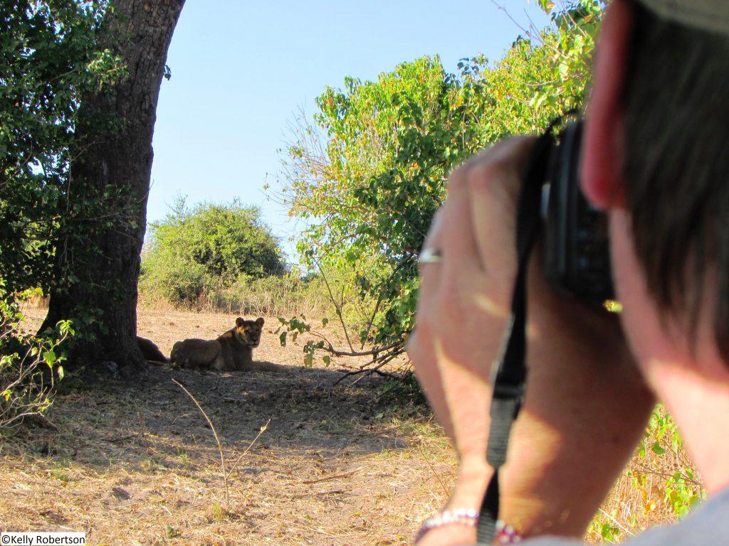 lioness Chobe National Park