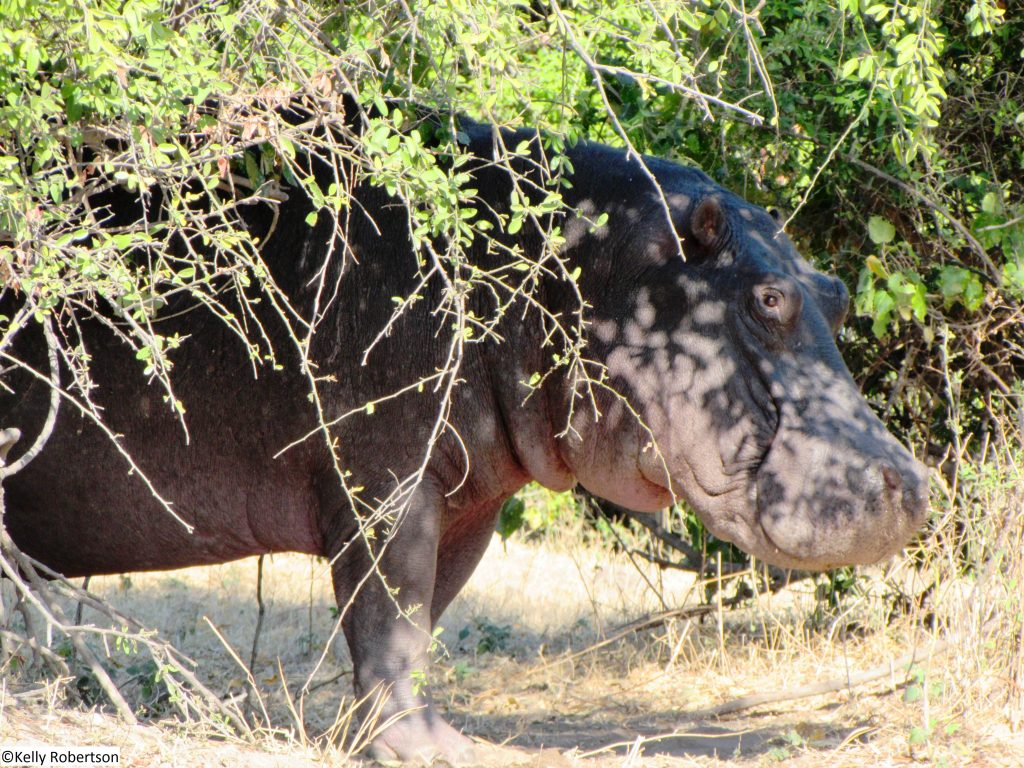 hippo Chobe National Park