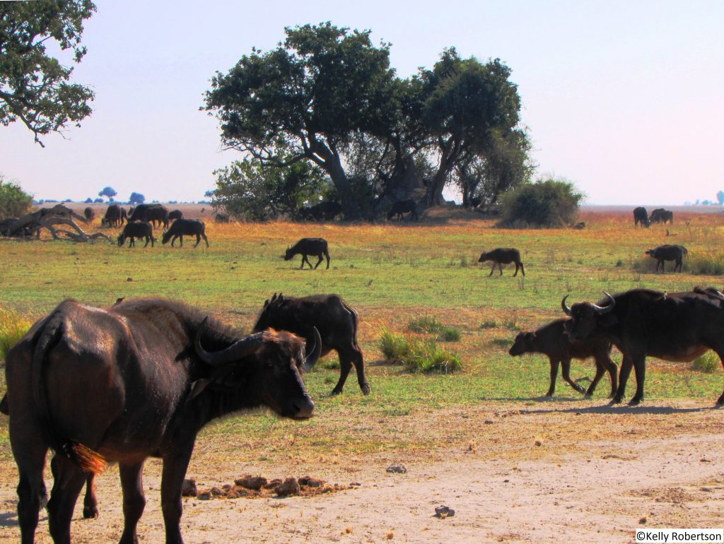 herd of buffaloes, Chobe National Park