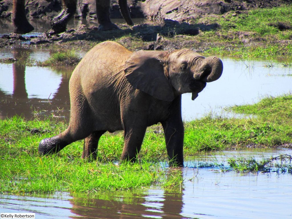 Baby elephant drinking in Chobe National Park