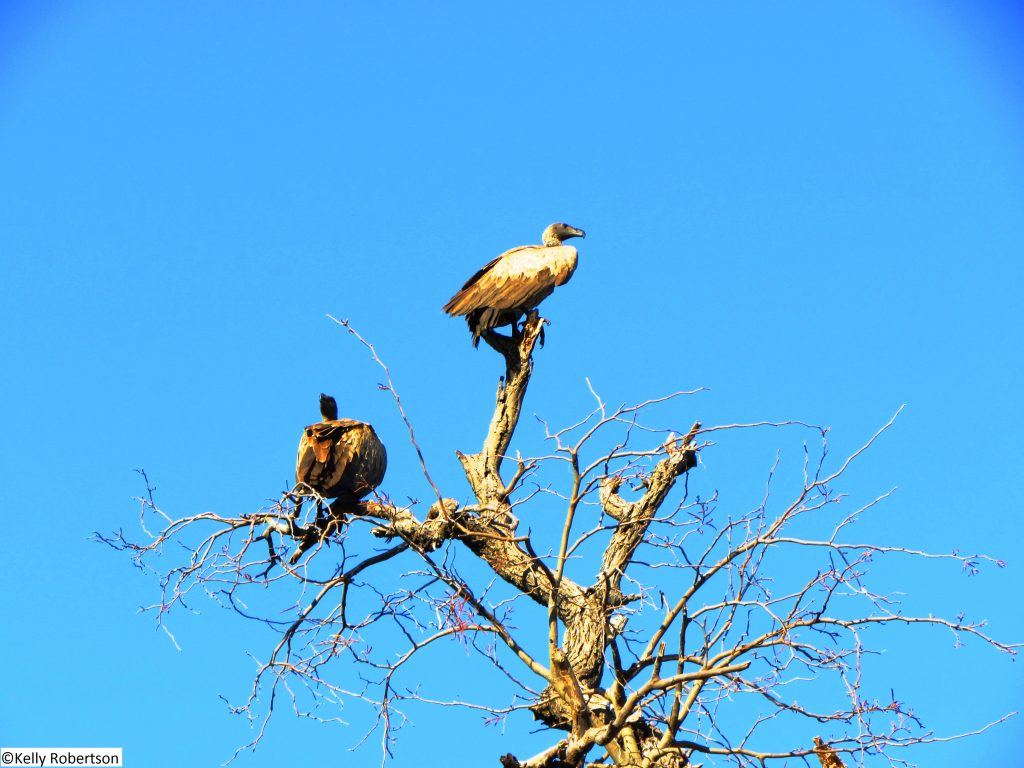 White Backed Vultures, Chobe National Park
