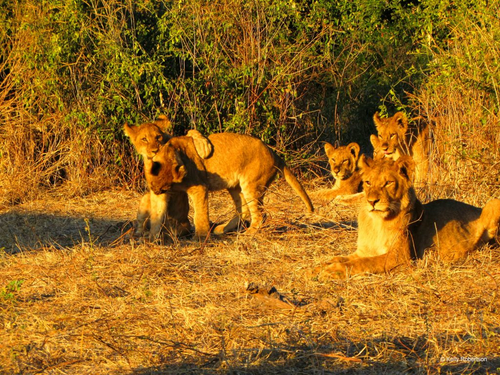 lions Chobe National Park