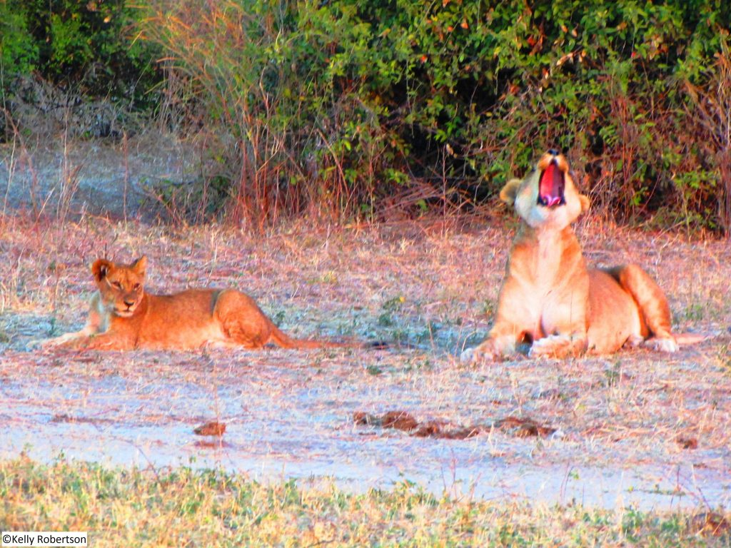yawning lioness and cub Chobe National Park