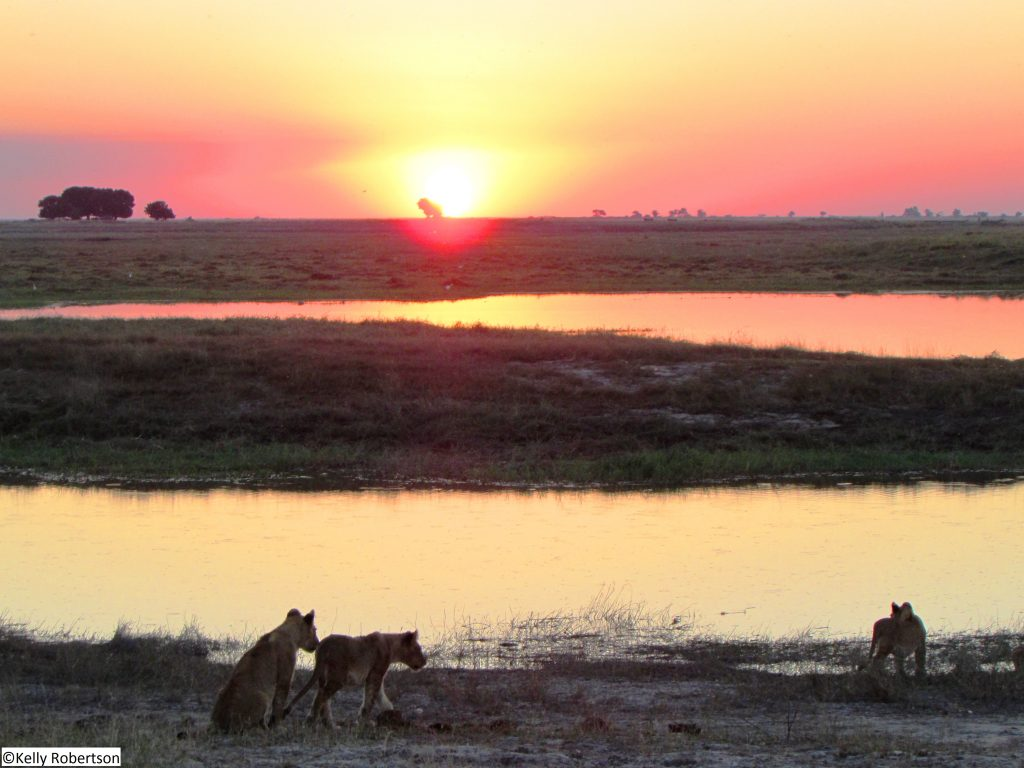 lion cubs at sunset, Botswana