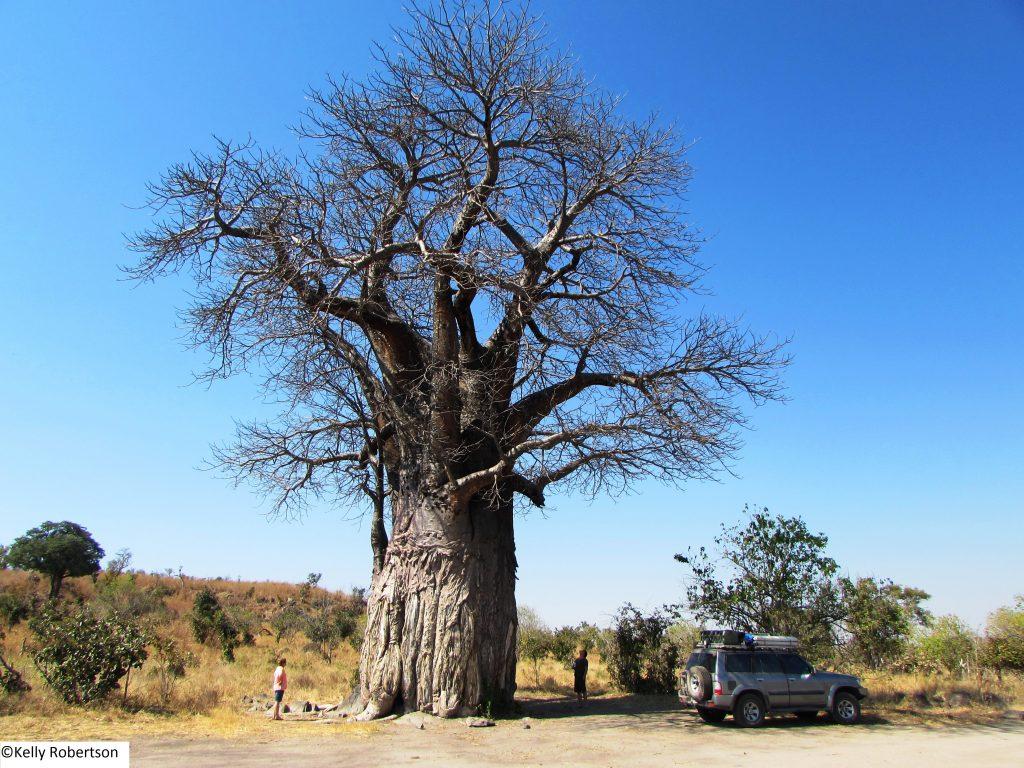 Baobab, Savuti, Botswana