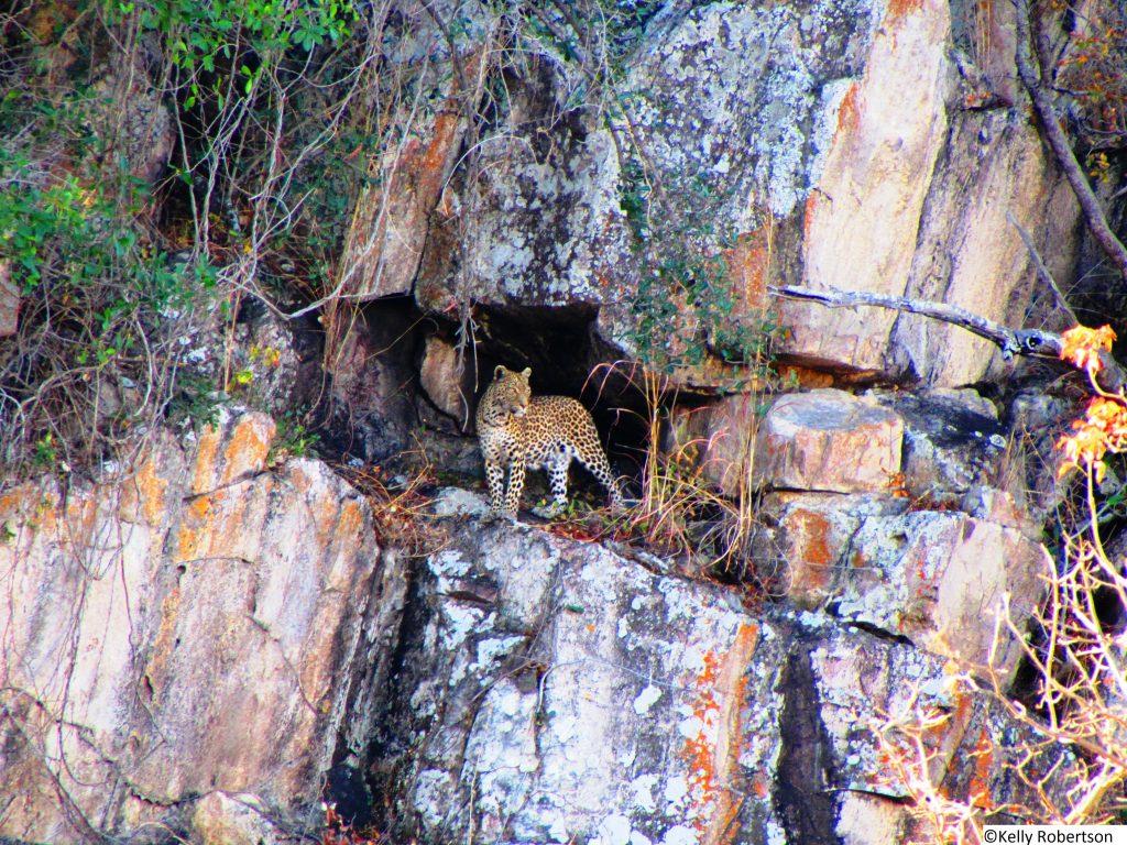 leopard in a cave, Savuti, Botswana