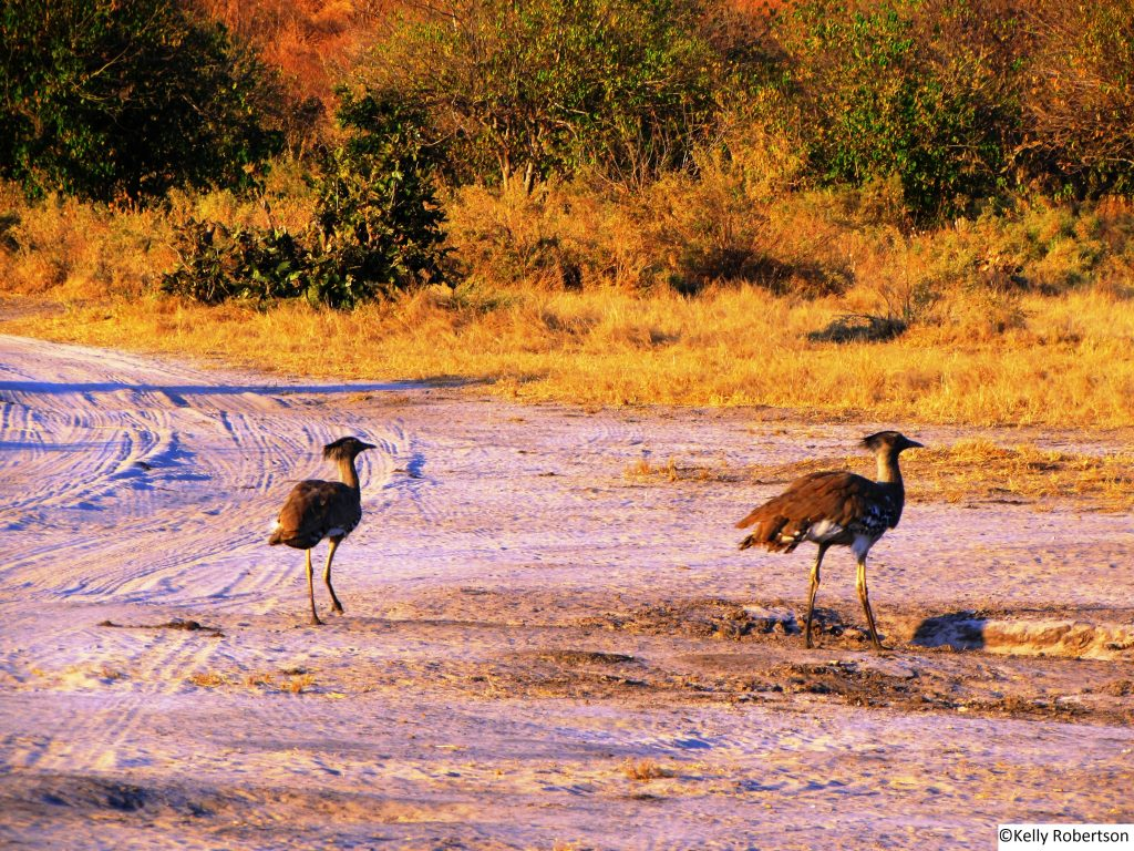 Kori Bustards, Savuti, Botswana