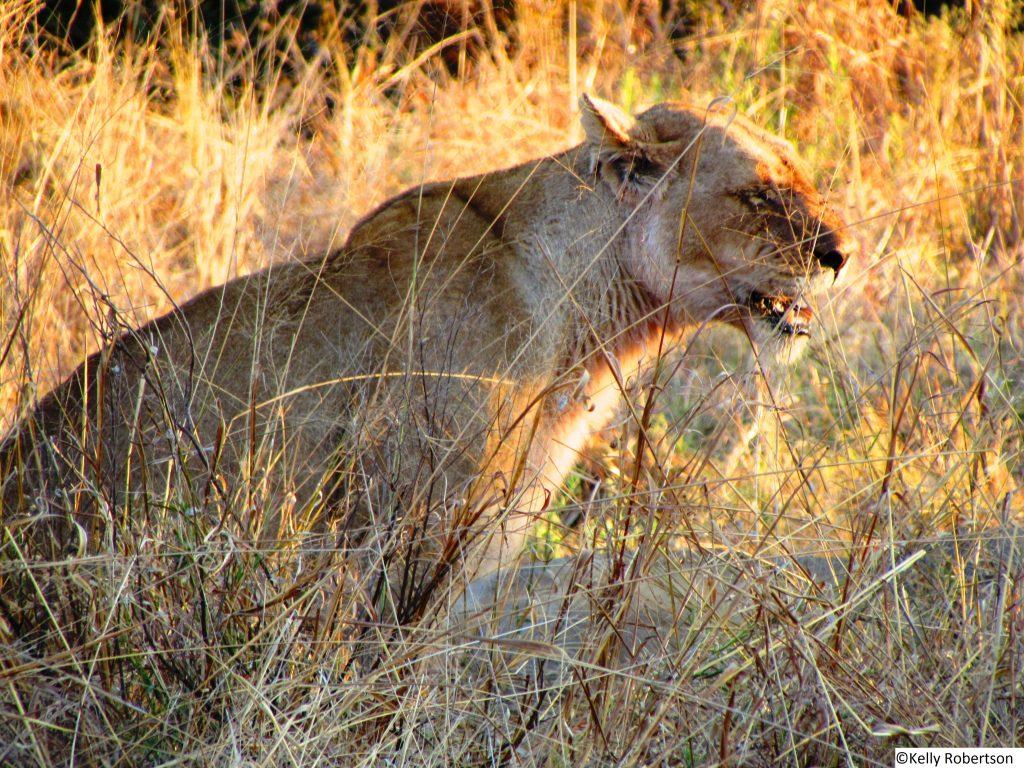 Lioness Savuti, Chobe National Park