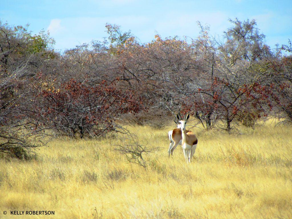Springbok in Botswana