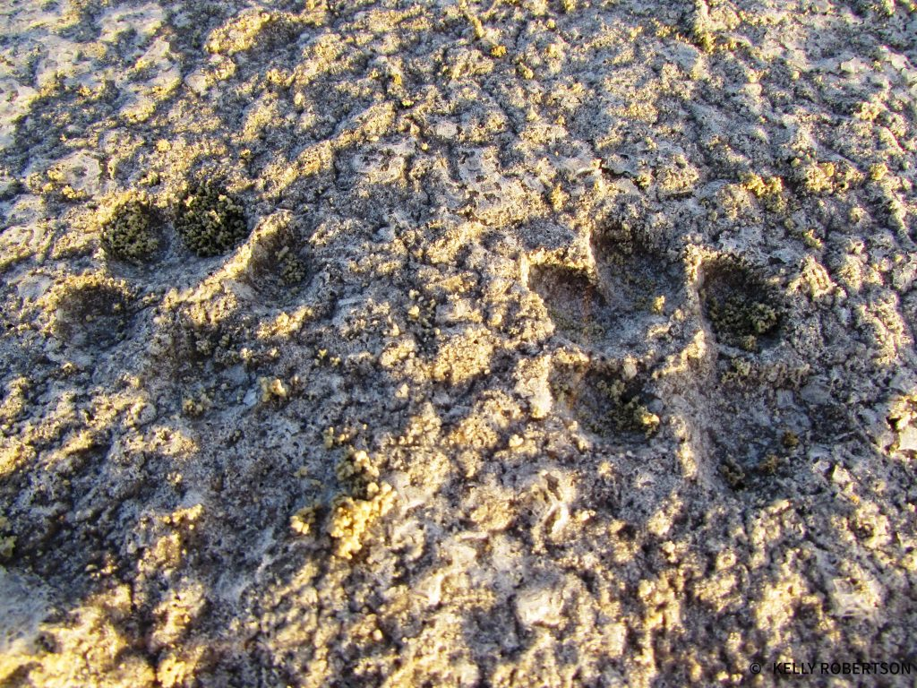 Cat footprints in the Kubu Island salt pans