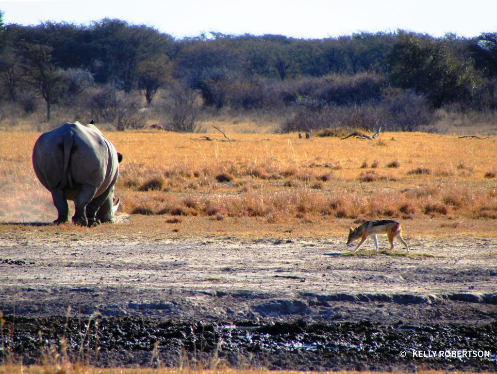 Jackal and rhino at Khama Rhino Sanctuary