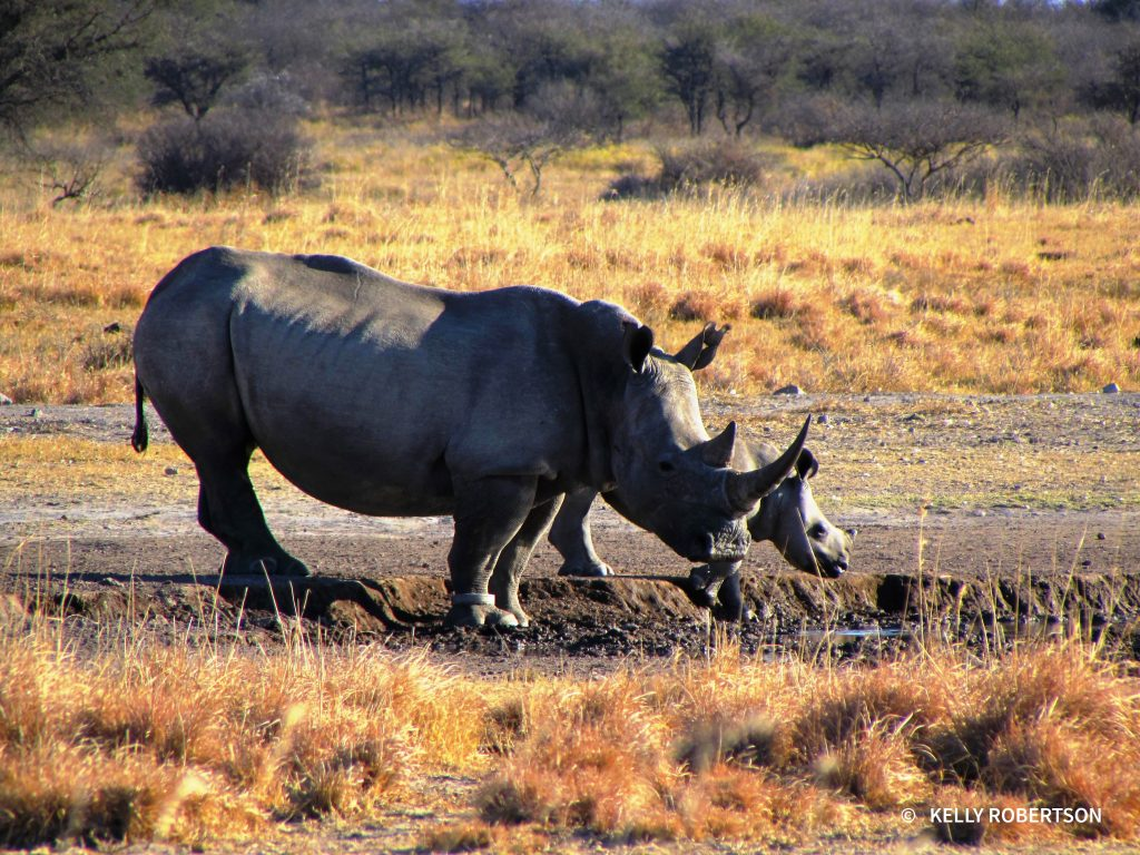 Mother and calf rhino at Khama Rhino Sanctuary
