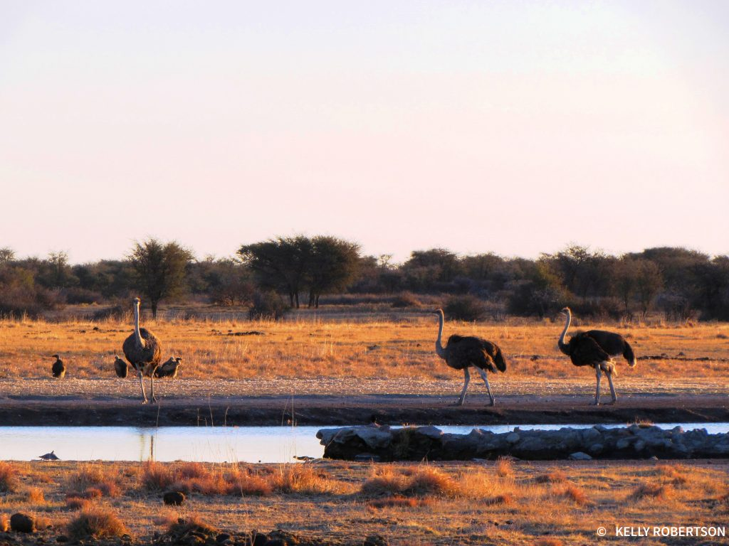 ostriches at Khama Rhino Sanctuary