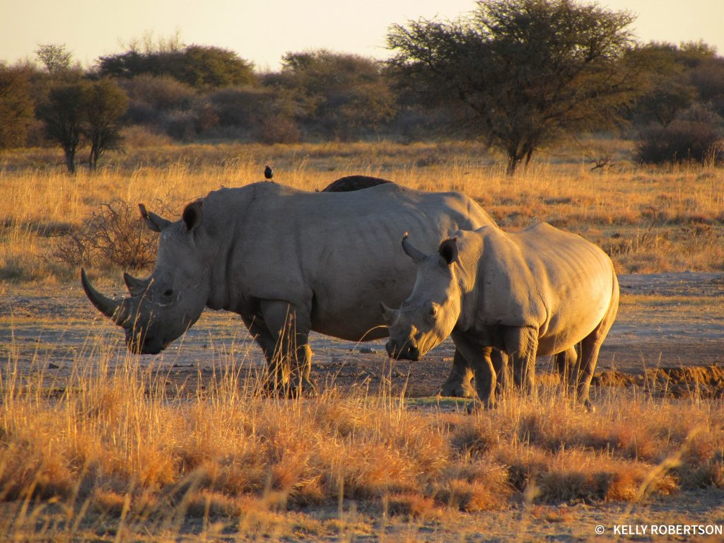 rhino at sunset at Khama Rhino Sanctuary
